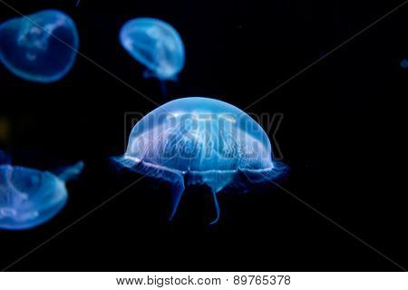 jellyfish, medusa