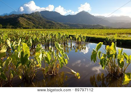 Taro Fields, Mountains, Blue Sky, Tropical Kauai Island