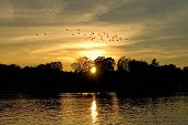 sunset over a quiet country lake with a flock of geese forming up to head south for the winter. poster