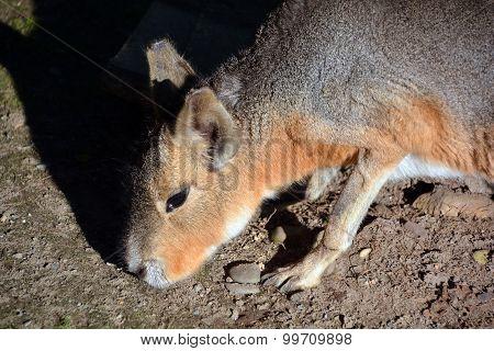 The Patagonian Mara