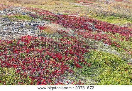Arctostaphylos alpinus Sprengel on a mountain slope.