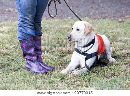 Trainer And Labrador Retriever Guide Dog