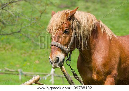 Outdoor portrait of draft horse