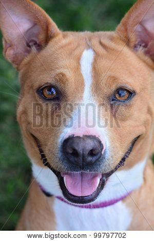 Brown and white boxer mix dog, close up, portrait