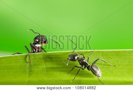 Ants Meeting On Grass