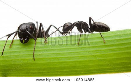 Macro en face and side view of two black ants on grass blade isolated on white poster