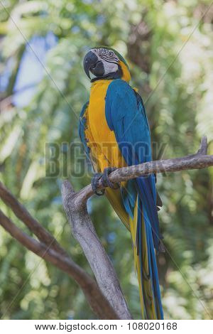 Blue And Yellow Macaw Parrot In Bali Bird Park, Indonesia