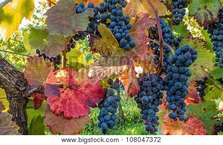 Blue grapes on autumnal vine stock