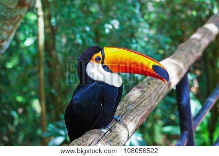 Large bird with bright plumage and a huge yellow beak. Toco toucan in a zoo of exotic tropical birds poster