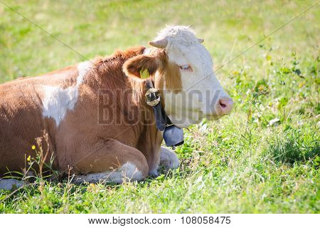 Purebred Hereford Cow Lying On Alps Sunlight Pasture Meadow