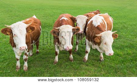 Group Of Calves Grazing On Alpine Pasture