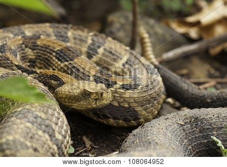 A large gravid female Timber Rattlesnake coils up outside its den on a southern exposed rocky hillside in the midwest. poster