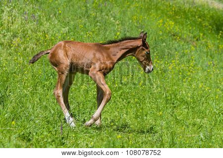 Newborn foal having fun on a summer pasture