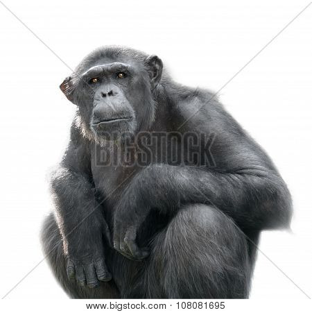 Chimpanzee looking at something with extreme attention isolated on white poster
