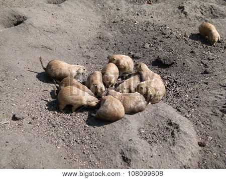 Prairie Dogs in Huddle