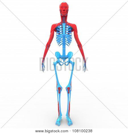 Human Skeleton Body with Muscles