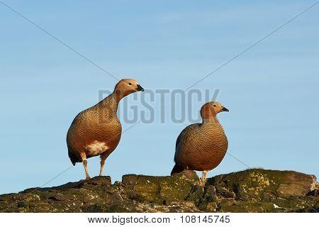 Ruddy Headed Geese