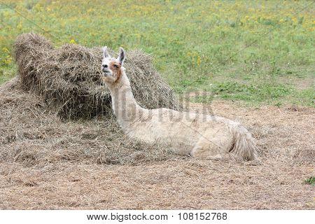 Llama Domesticated