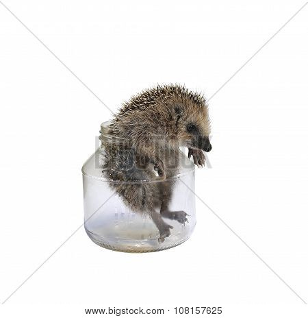 Forest Wild Hedgehog Comes Out Of A Glass Jar Isolated