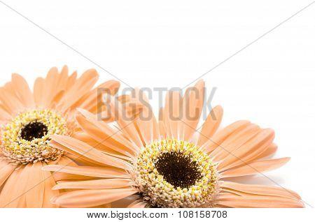 Orange Gerbera Daisy Isolated On White