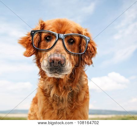 a close up of a golden retriever's face with cool trendy hipster or nerd geek black frame glasses on his face