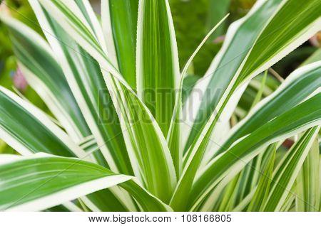Stripe Pandan's Leaves(pandanus Pygmaeus'variegatus')