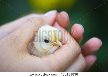 Baby Chick In Girl's Hand