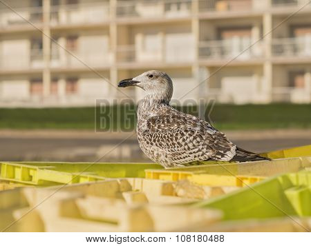 Young herring gull (Larus Argentatus) standing on a crate at a fish market