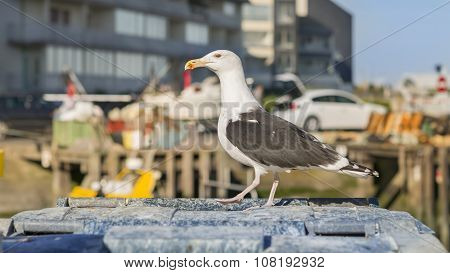 Herring gull (Larus Argentatus) standing on a garbage container