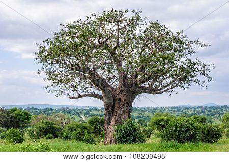 Eagle On A Baobab Tree In The Tarangire Park, Tanzania