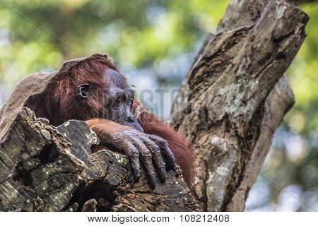 The Adult Male Of The Orangutan In The Wild Nature. Island Borneo. Indonesia.