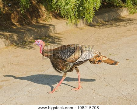 Tom turkey strolling around neighborhoods looking for a mate in the spring