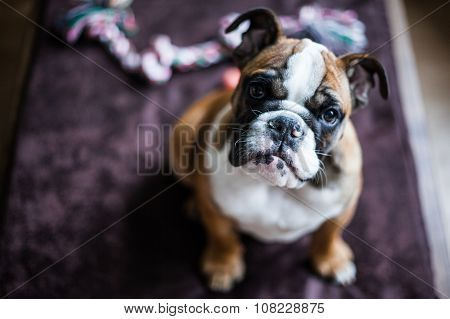 Red-haired English Bulldog Sitting On The Wooden Couch. Looking At The Camera