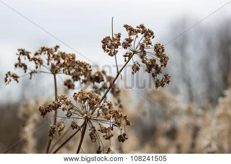 Umbrellas Aegopodium podagraria