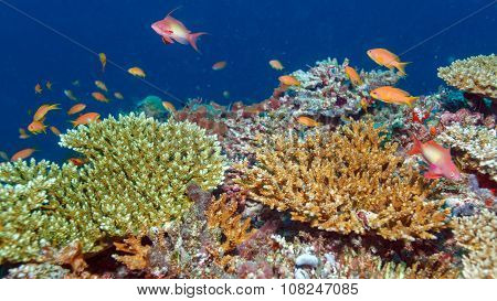 School Of Fishes Near Coral Reef, Maldives poster