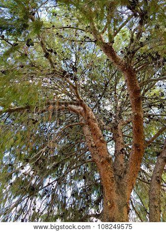 Afghan Pine Crown