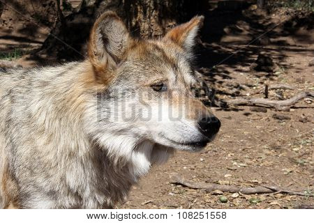 Highly Endangered Mexican Gray Wolf