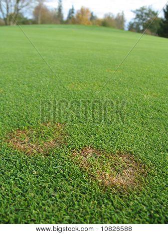 fusarium fungus on green