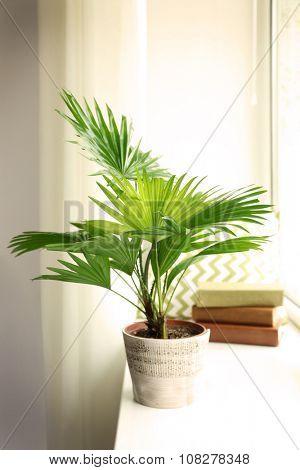 Palm tree (Livistona Rotundifolia) in flowerpot on windowsill at home poster