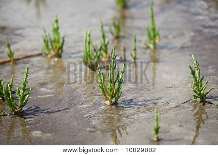 Saltwort - Salicornia Europaea