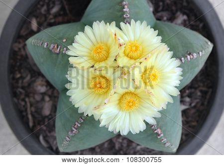 Astrophytum myriostigma Cactus  with five yellow flowers.