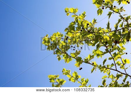 Young platan leaves and fruits on blue sky background