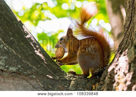 red squirrel with a walnut on the tree