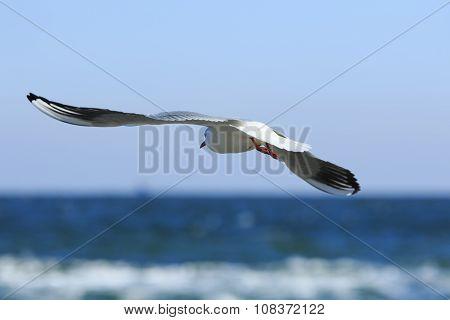 Gull Flies