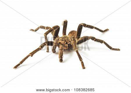 Tarantula Isolated On White Background