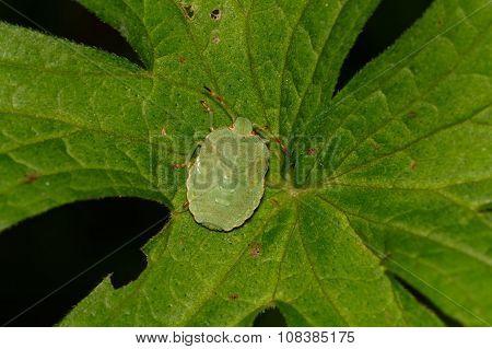 Green Shield Bug Sitting On A Leaf