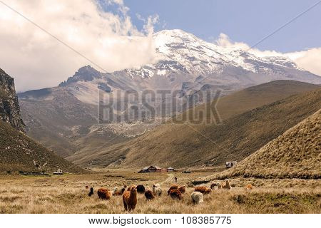 Llamas Grazing, Chimborazo Volcano, South America