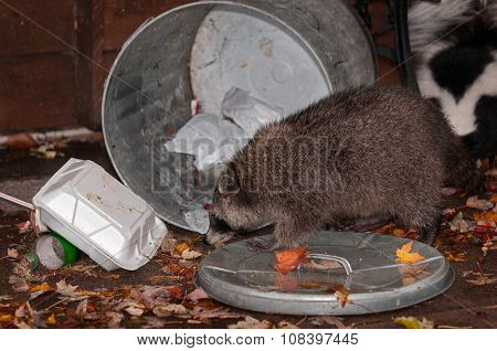 Raccoon (procyon Lotor) Raids Trash Can With Skunk In Background
