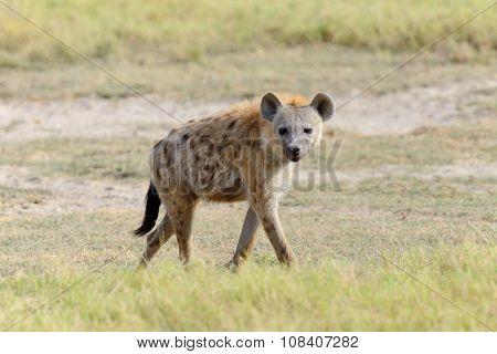 Hyena in National park of Kenya Africa poster