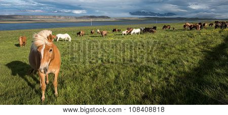 Horses in Vatnsnes peninsula, north of Iceland poster